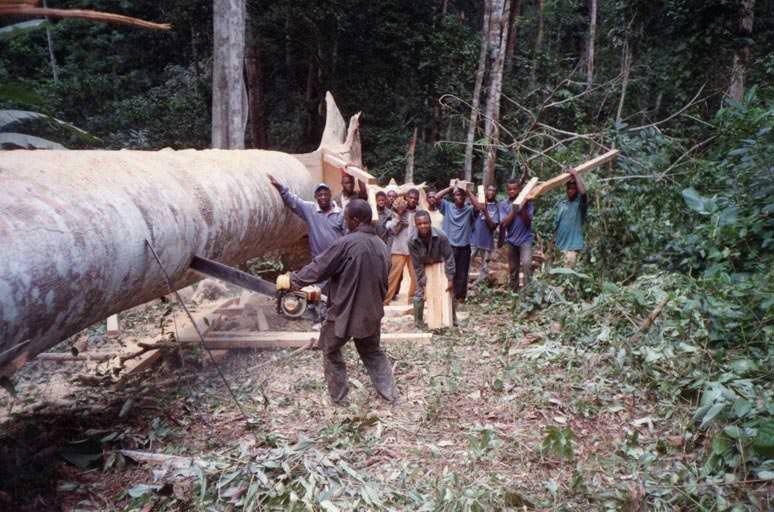 Il a fallu d'abord abattre un vieil arbre pour en extraire de jolies planches pour les murs du bâtiment scolaire